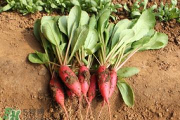 清明节可以种萝卜吗?清明节怎么种萝卜?