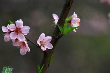 清明节还有桃花吗?清明节去哪里看桃花?