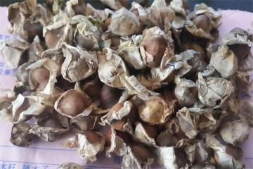 吃辣木籽拉肚子怎么回事 吃辣木籽拉肚子正常吗