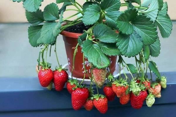 阳台盆栽草莓怎么养怎么浇水