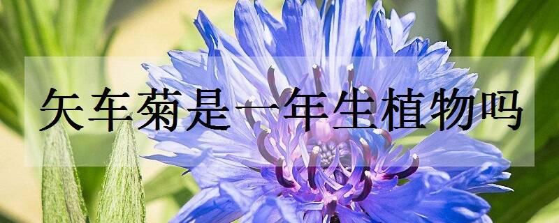 矢车菊是一年生植物吗