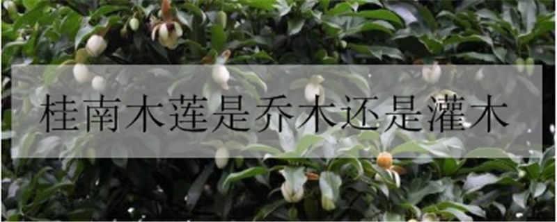 桂南木莲是乔木还是灌木