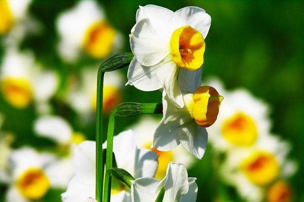 水培水仙花的养殖方法 养殖技巧有哪些