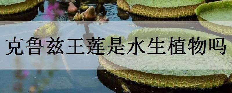 克鲁兹王莲是水生植物吗