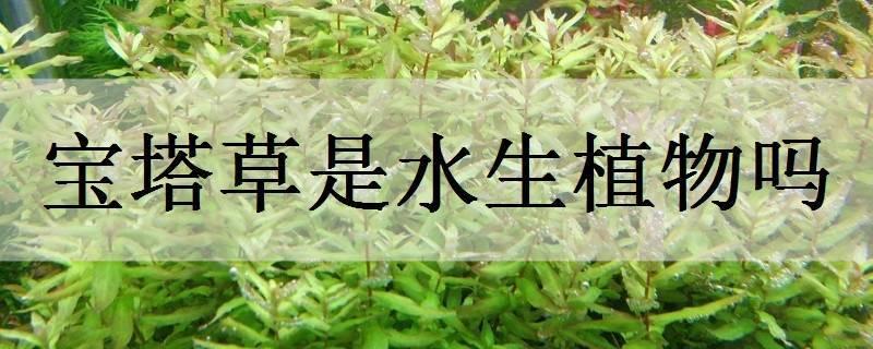 宝塔草是水生植物吗
