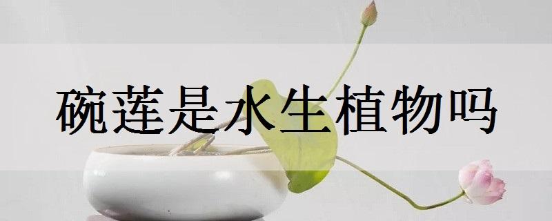 碗莲是水生植物吗