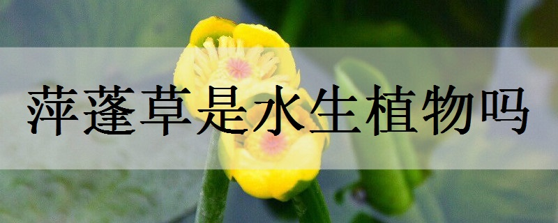 萍蓬草是水生植物吗