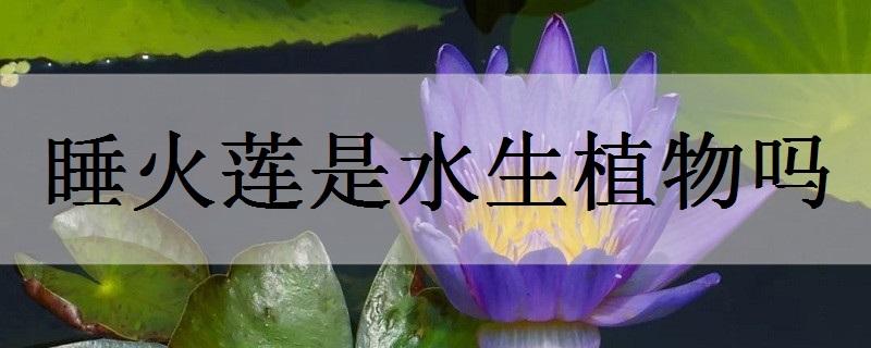 睡火莲是水生植物吗