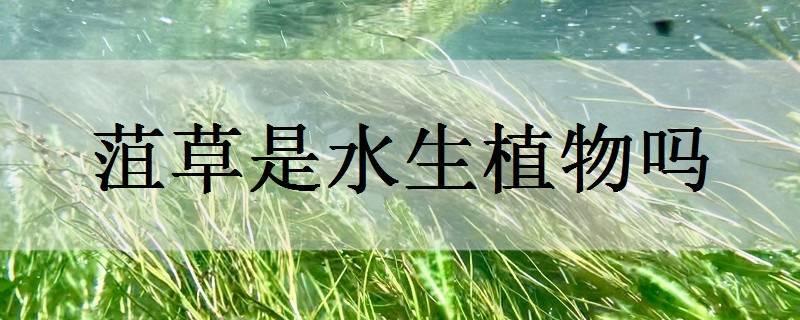 菹草是水生植物吗