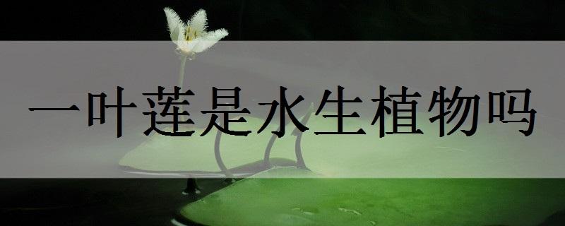 一叶莲是水生植物吗