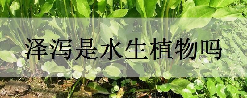 泽泻是水生植物吗